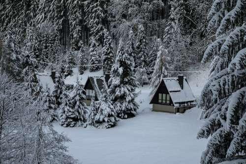 Winter Snow Pine Forest