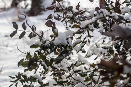 Winter Snow The Bushes Frost Foliage Branches