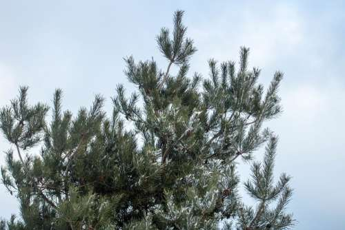 Winter Snow Frost Tree Spruce Holidays