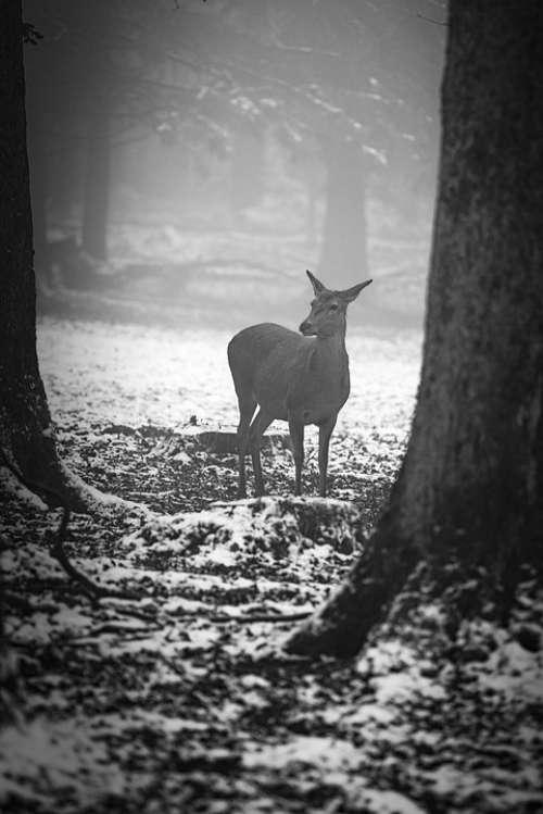 Winter Forest Roe Deer Fog Cold