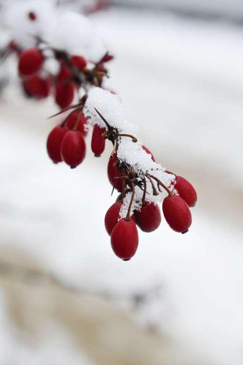 Winter Snow Hibiscus Macro Photography