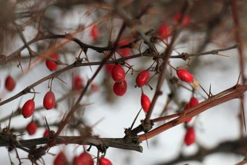 Winter Bush Barberry Berry Branch Red Nature