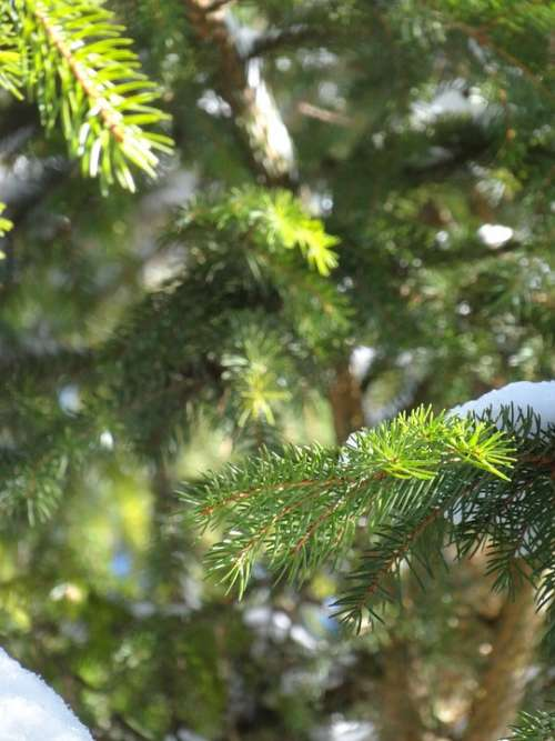 Winter Fir Tree Green Snow Nature Christmas Cold