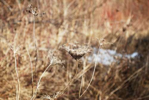 Winter Dry Grass Nature Grass Snow Plant