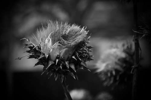 Winter Plant Wild Artichoke Black And White
