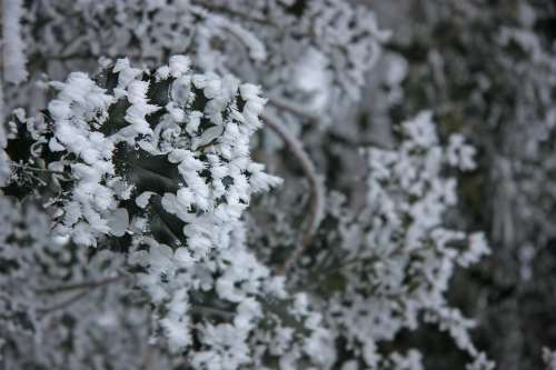 Winter Ripe Eiskristalle Ice Snow Holly