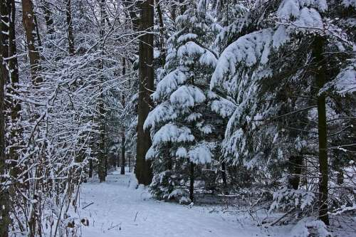 Winter Forest Tree Coniferous Forest Firs Spruce