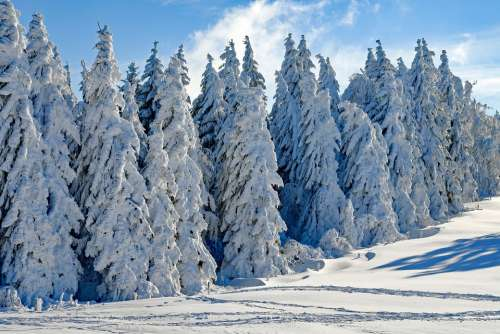 Wintry Snow Firs Snowy Season Winter Cold Advent