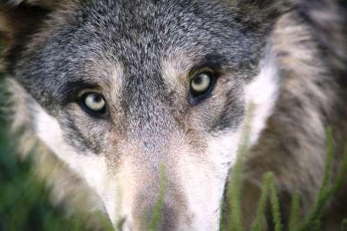 Wolf Animal Dog Mammal Wild Animal Canine