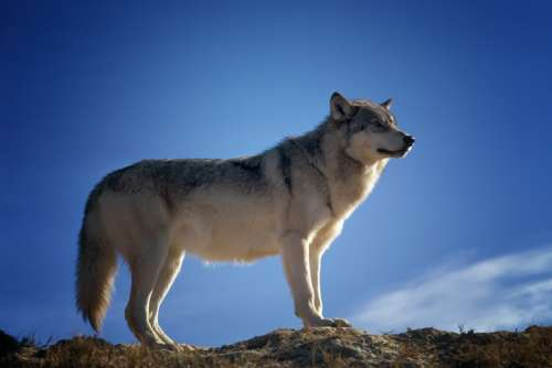 Wolf Predator Wildlife Montana Nature Outside