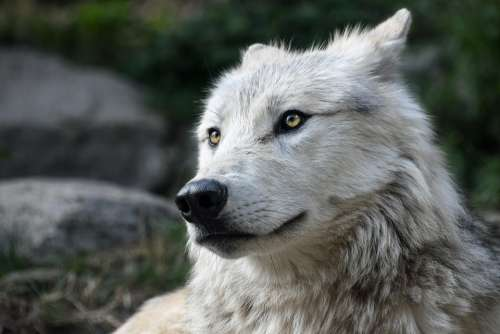 Wolf Predator Look Portrait Head Wild Animal