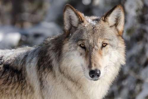 Wolf Lone Predator Wildlife Nature Wild Lupus