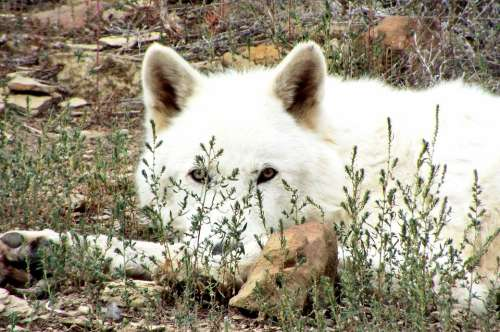 Wolf Artic Wolf Wildlife Outdoor Carnivore Nature