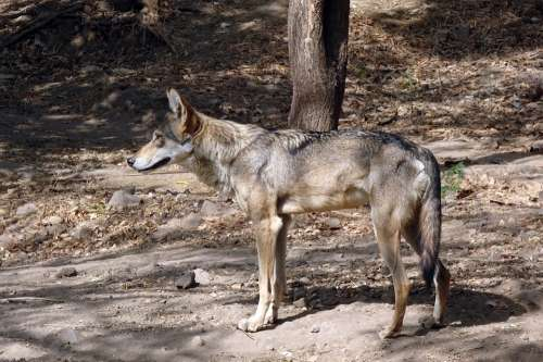 Wolf Wildlife Indian Wolf Canis Lupus Pallipes