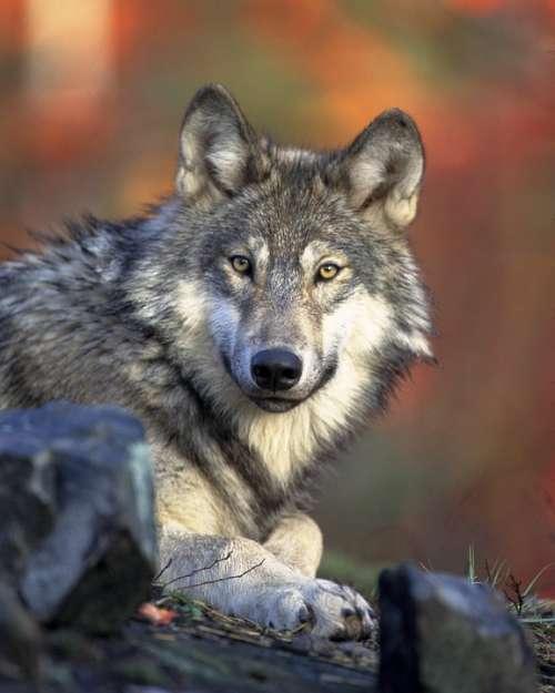 Wolf Predator Canidae Canis Lupus Hunter