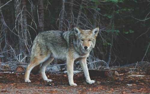 Wolf Coyote Animal Wildlife Mammal Predator