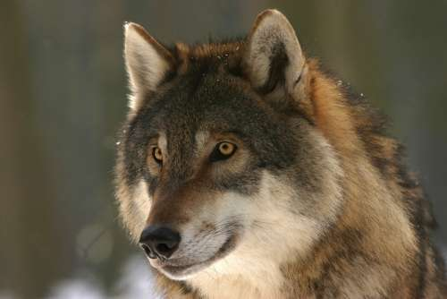 Wolf Zoo Canis Lupus Mammal Wolves European Wolf