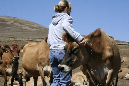 Woman Cows Jerseys Farm Dairy Cow Agriculture