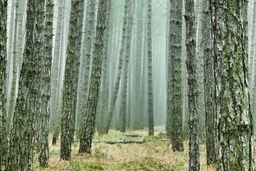Wood Tree Forest Pine Forest Conifers Pine Fog