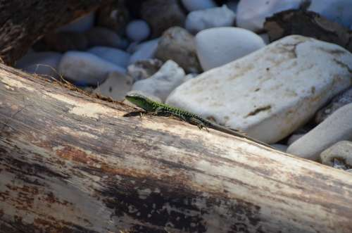 Wood Rock Nature Lizard Reptile
