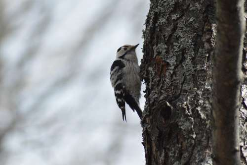 Woodpecker The Birds Nature