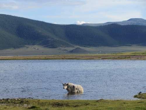 Yak Lake Mongolia Landscape Nature Wild
