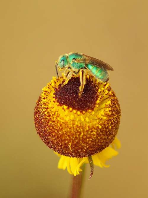 Yellow Flower Insect Garden Plant Pollen Bug