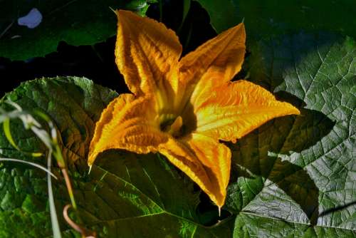 Yellow Garden Nature Pumpkin Plant Close Up