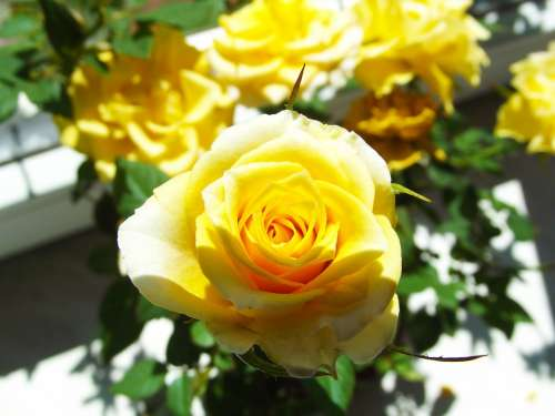 Yellow Rose Flower Beauty Flowering