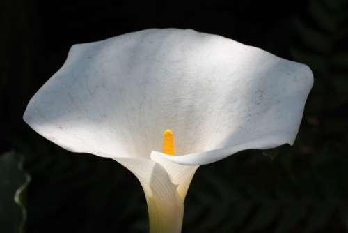 Yellow Spadix Flower White Spathe Plant Botanical
