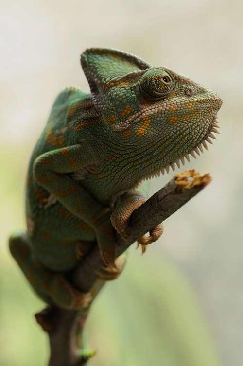 Yemen Chameleon Chamaeleo Calyptratus Chameleon