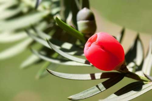 Yew Taxus Plant Bush Evergreen Taxaceae Conifer