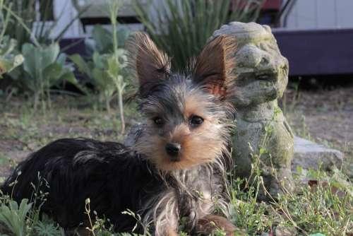 Yorkie Yorkshire Terrier Dog Puppy Cute Animal