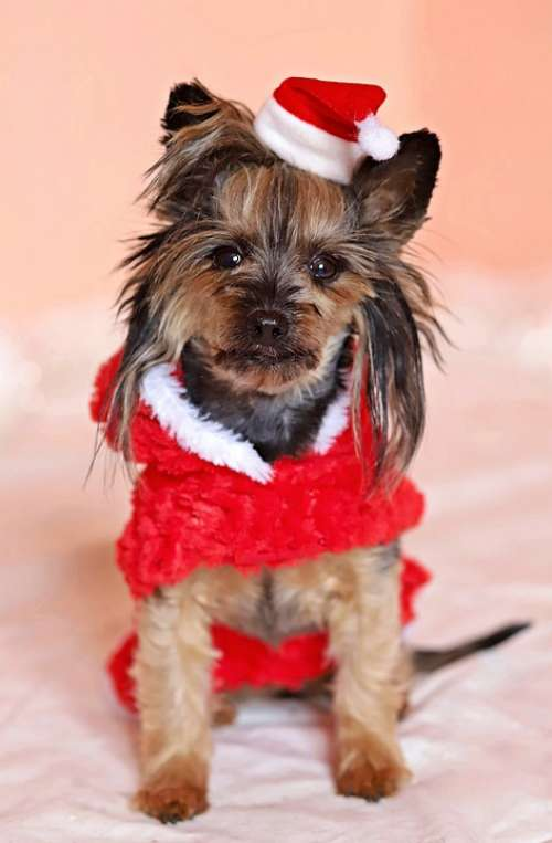 Yorkshire Terrier Dog Santa Claus Cute Cap Dress