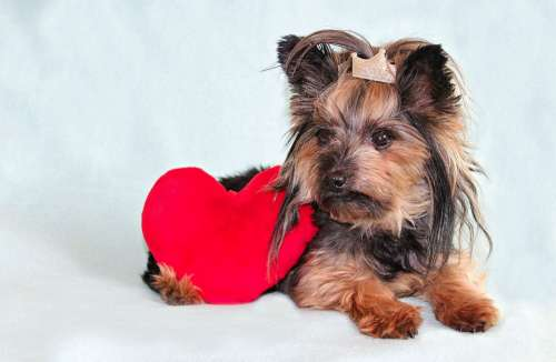 Yorkshire Terrier Dog Heart Cute