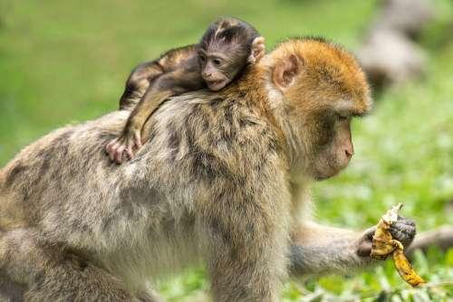 Young Animal Monkey Barbary Ape Mammal Äffchen
