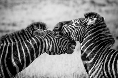 Zebra Wildlife Africa Safari Wild Nature Mammal