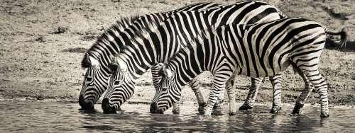 Zebra Safari Wildlife Savanna Nature Africa