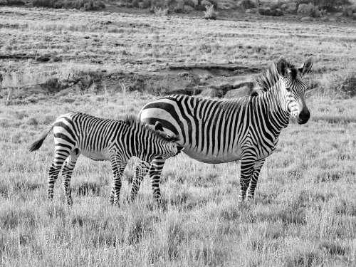 Zebra Hartmann'S Mother Child Baby Zebra Baby