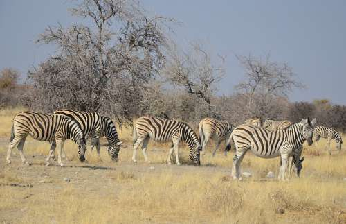 Zebra Africa Namibia Etosha Stripes