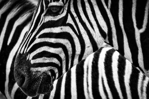 Zebra Stripes Animal Africa Safari Mammal