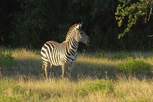 Zebra Animal Wildlife Nature Africa Safari
