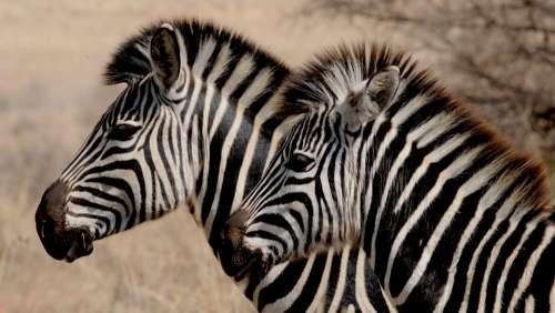 Zebra Wild Animal Africa Stripes Drawing