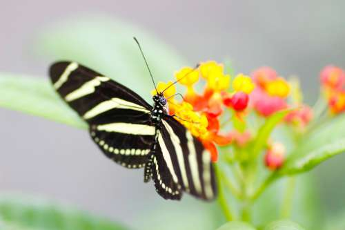 Zebra Longwing Butterfly Nature Macro