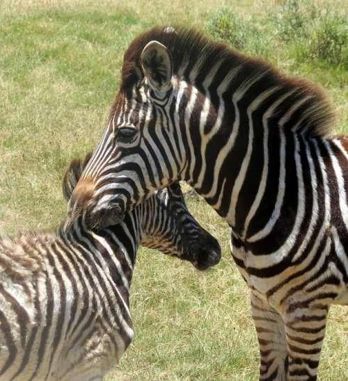 Zebras Animal Mammal South Africa Nature