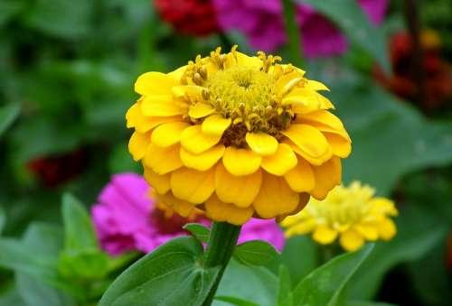 Zinnia Flower Yellow Garden Nature Summer Closeup