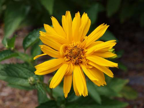 Zinnia Yellow Flower Summer Nature Garden Bright