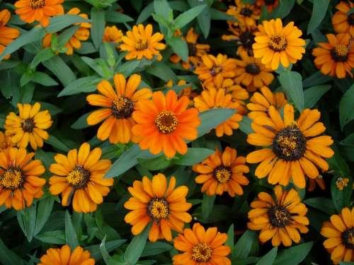 Zinnia Yellow Flower Garden Summer Flower Flowers