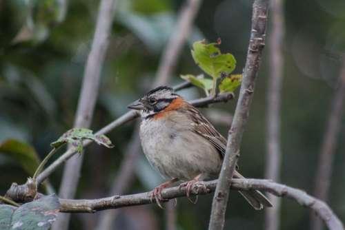Zonotrichia Capensis Scullion Sparrow Bird