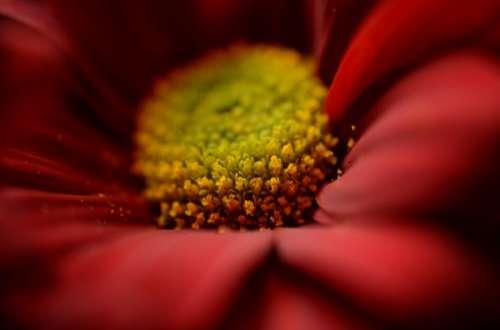 Red flower bud macro